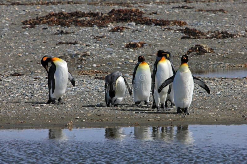 Koningspinguïnen het leven wildernis in Parque Pinguino Rey, Patagonië, Chili stock foto's