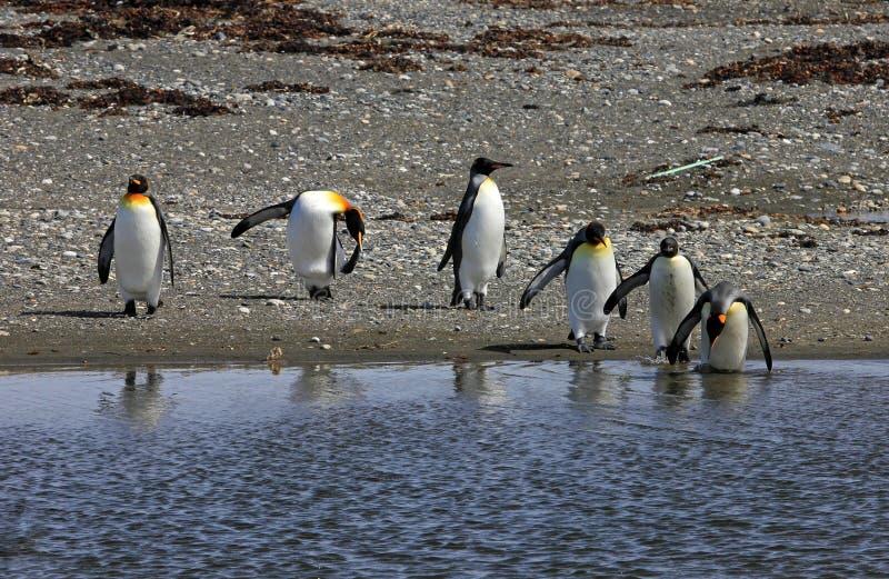 Koningspinguïnen het leven wildernis in Parque Pinguino Rey, Patagonië, Chili stock foto