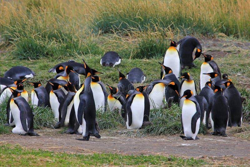 Koningspinguïnen het leven wildernis in Parque Pinguino Rey, Patagonië, Chili royalty-vrije stock afbeelding