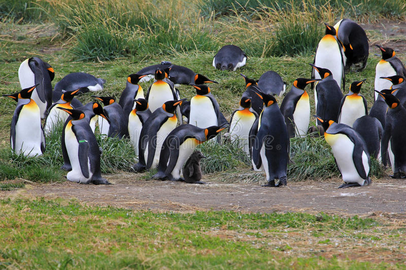 Koningspinguïnen het leven wildernis in Parque Pinguino Rey, Patagonië, Chili stock afbeelding