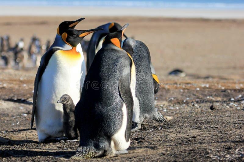 Koningspinguïnen met kuiken, aptenodytes patagonicus, Saunders, Falkland Islands stock afbeelding