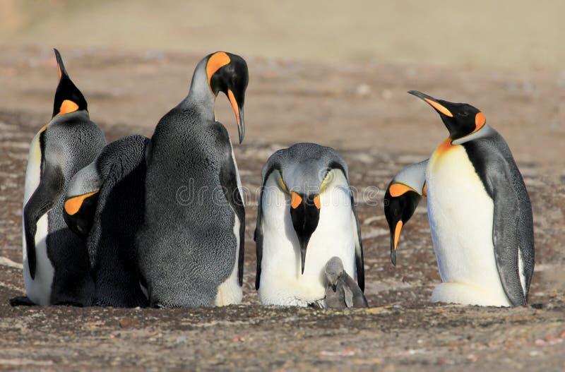Koningspinguïnen met kuiken, aptenodytes patagonicus, Saunders, Falkland Islands royalty-vrije stock afbeeldingen