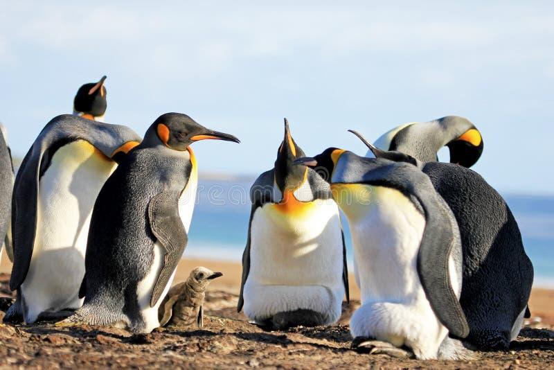 Koningspinguïnen met kuiken, aptenodytes patagonicus, Saunders, Falkland Islands royalty-vrije stock foto