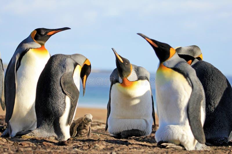 Koningspinguïnen met kuiken, aptenodytes patagonicus, Saunders, Falkland Islands stock afbeeldingen