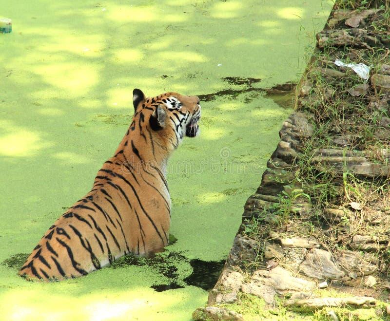 Koninklijk Bengalen tijger-1. royalty-vrije stock fotografie