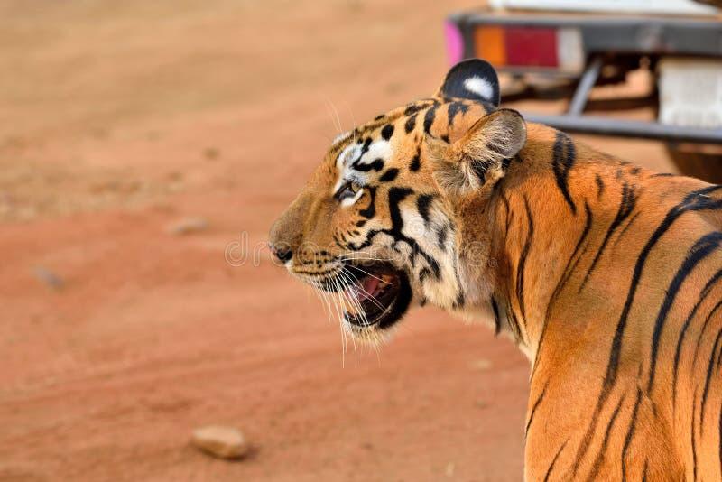 Koninklijk de tijgerprofiel van Bengalen royalty-vrije stock fotografie