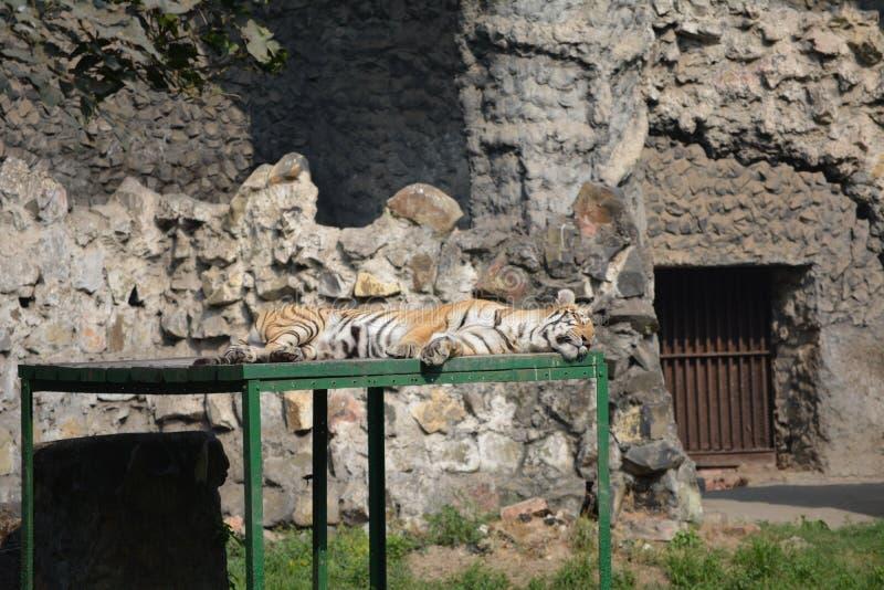 Koninklijke Bengalen tijger royalty-vrije stock foto