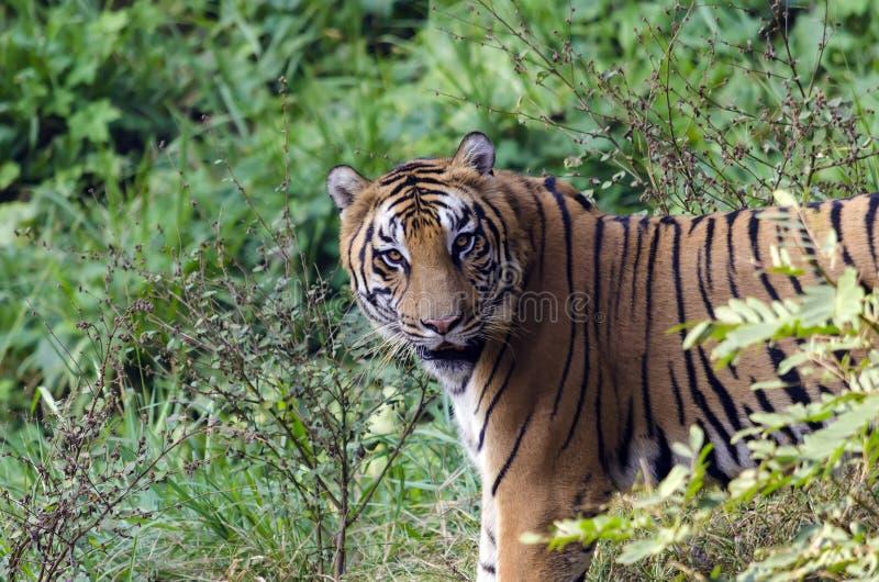 Koninklijke Bengalen tijger stock foto's