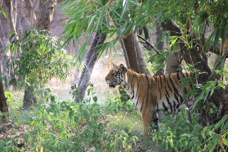 Koninklijke Bengalen tijger royalty-vrije stock foto's