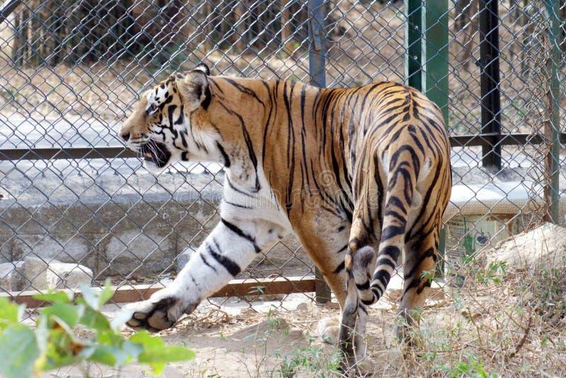 Koninklijke Bengalen tijger stock afbeelding