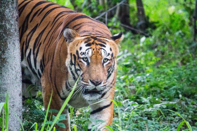 Koninklijke Bengalen tijger royalty-vrije stock afbeeldingen