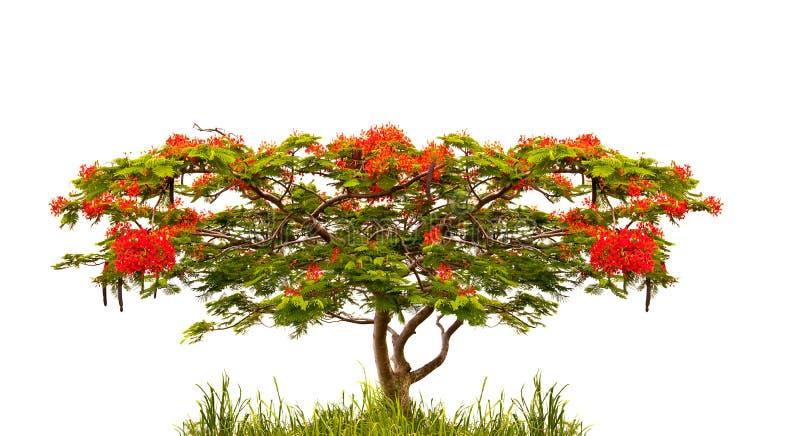 Koninklijke die Poinciana-boom (Delonix Regia) op wit wordt geïsoleerd stock foto's