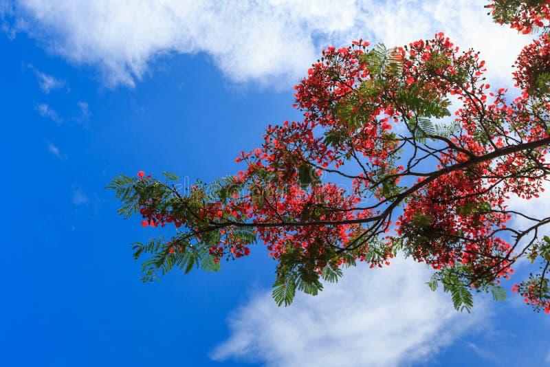 Koninklijke die Poinciana op blauwe hemel, Bijeenkomsteiland wordt geïsoleerd stock fotografie
