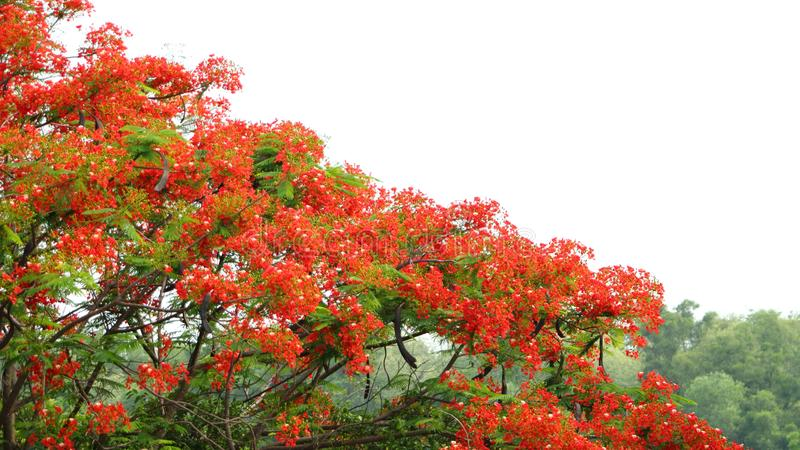 Koninklijke Poinciana-bloem royalty-vrije stock afbeelding