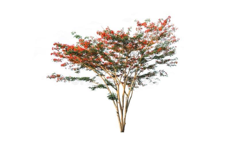 Koninklijke Poinciana-boom met rode die bloem op wit wordt geïsoleerd royalty-vrije stock afbeelding