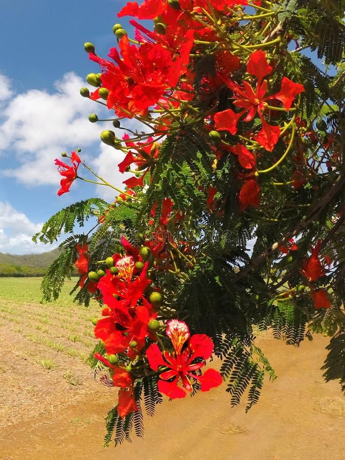 Koninklijke Poinciana-Flamboyant Boom, stock fotografie