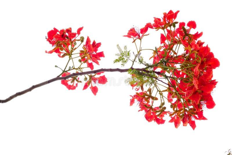 koninklijke poincianabloem, rode die bloem op witte achtergrond wordt geïsoleerd stock foto's