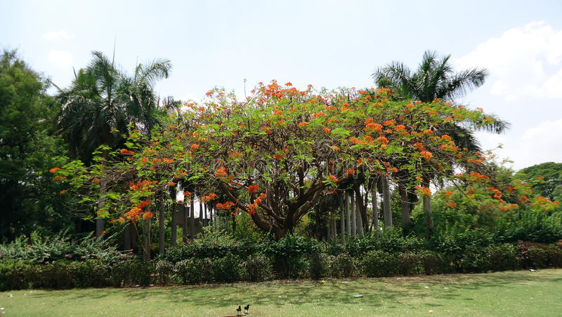 Koninklijke poincianaboom in Bijapur royalty-vrije stock afbeelding