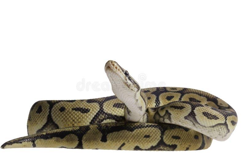 Koninklijke python geïsoleerd op witte achtergrond royalty-vrije stock foto's