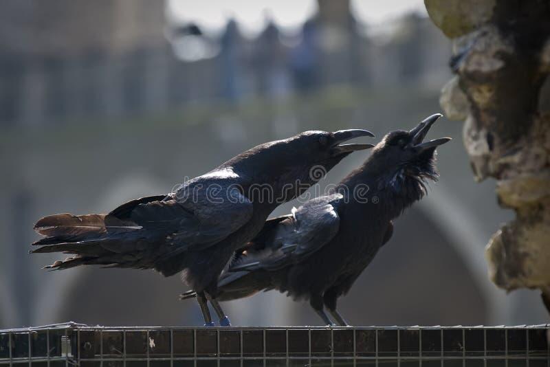Koninklijke raven in de Toren van Londen royalty-vrije stock fotografie