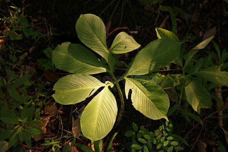 Konjac perenn växt som växer från en stor rotknöl royaltyfri foto