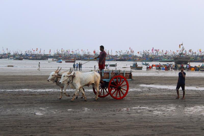 KONKAN MAHARASHTRA, INDIEN, Februari 2018, lokal man med oxevagnen för ritt på den Harne stranden arkivfoton