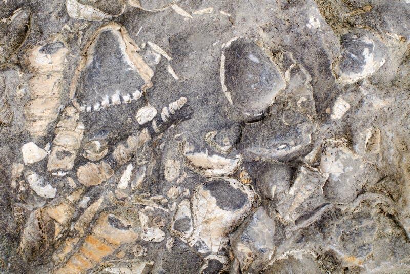 Konkrecja z fossilized dennymi skorupami obraz stock