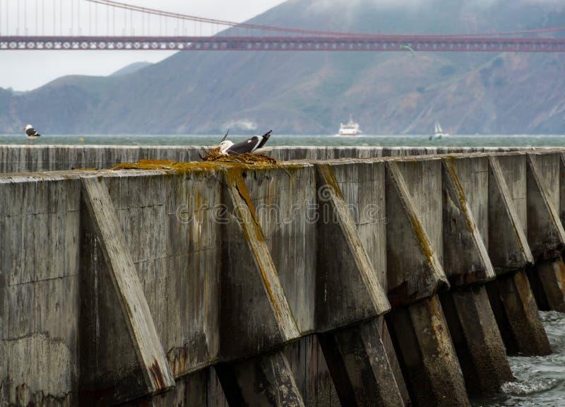 Konkret havsvägg i San Francisco Bay, havsfiskmås i rede arkivfoto
