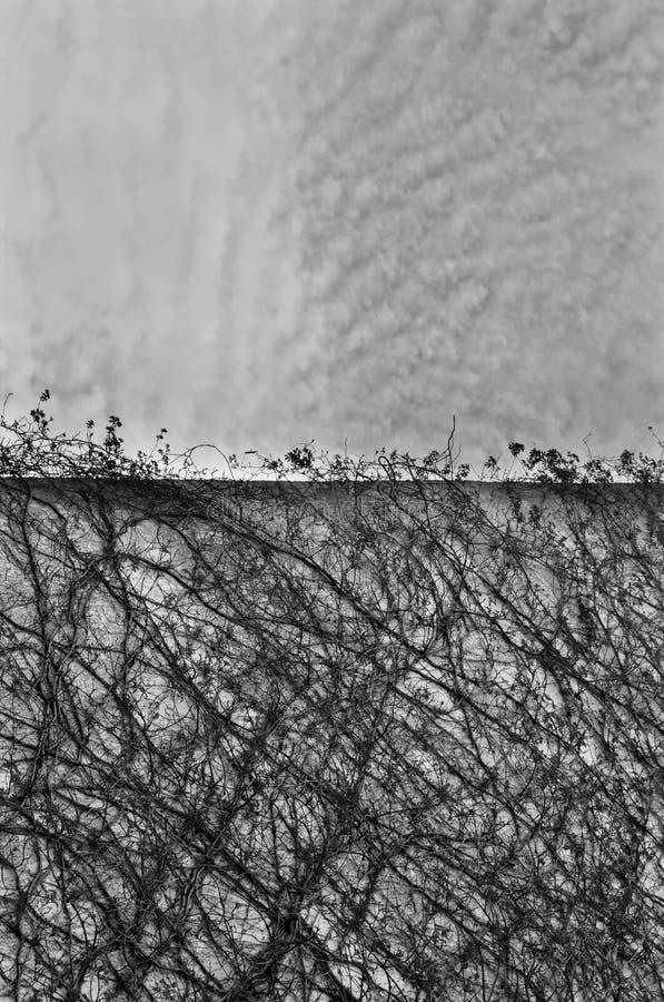 konkret rankaväxtvägg royaltyfria bilder