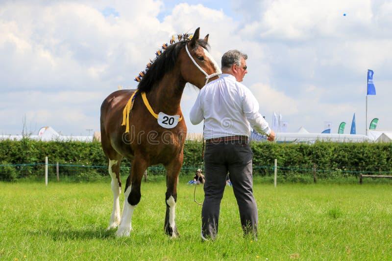 Konkurent pokazuje jego konia przy przedstawieniem zdjęcia royalty free
