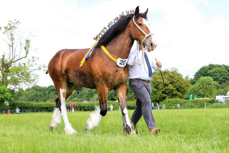 Konkurent pokazuje jego konia przy przedstawieniem zdjęcie royalty free