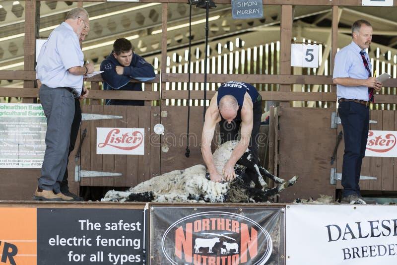 Konkurrens för fårklippning royaltyfri bild