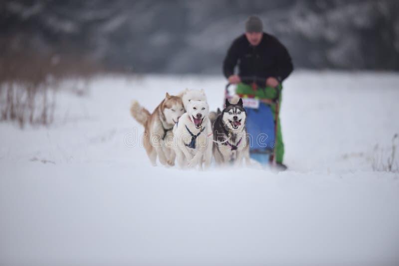 Konkurrens för hundslädelopp royaltyfria foton