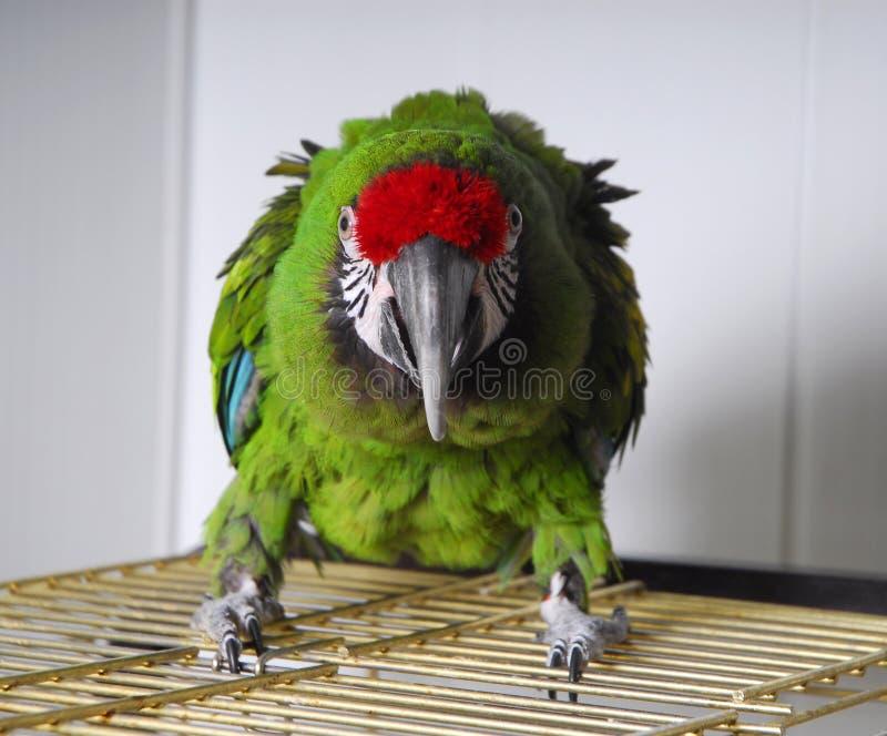 Konkurrenzfähiger heller Papagei lizenzfreies stockfoto