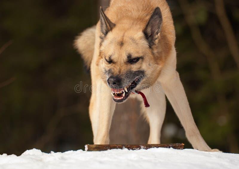Konkurrenzfähiger Hund stockfotos