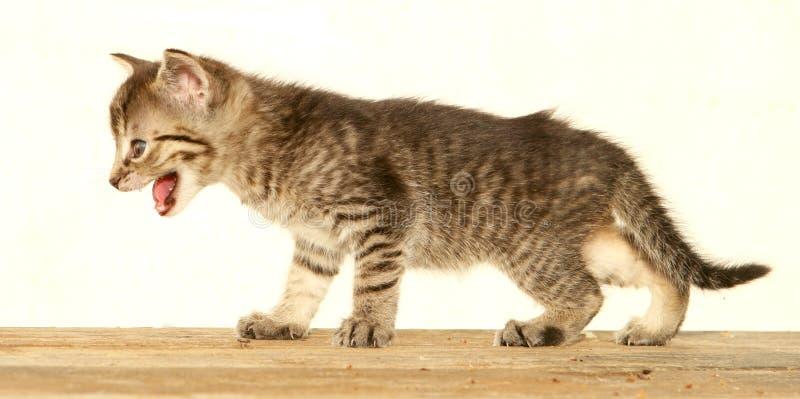 Konkurrenzfähiges Kätzchen stockbilder