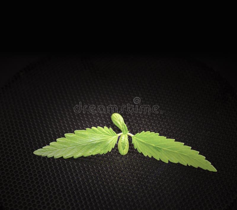 Konopie kiełkowy młody liść zdjęcie royalty free