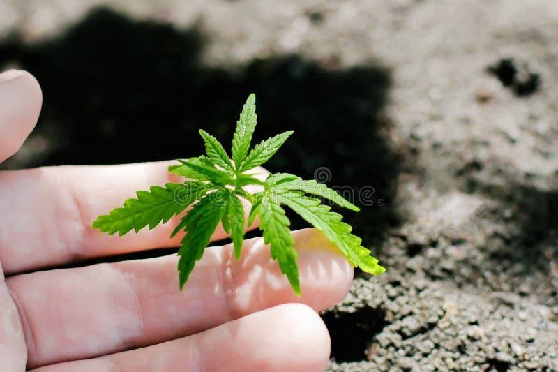 Konopie kie?kuje doro?ni?cie Rolnicy zasadzaj? marihuany rozsady R?ki zbli?enie z marihuany rozsad? outdoors obrazy stock
