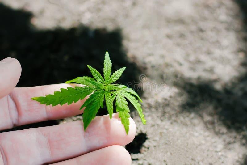 Konopie kie?kuje doro?ni?cie Rolnicy zasadzaj? marihuany rozsady R?ki zbli?enie z marihuany rozsad? outdoors zdjęcie royalty free