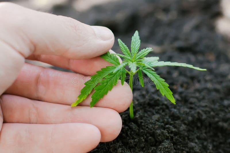 Konopie kie?kuje doro?ni?cie Rolnicy zasadzaj? marihuany rozsady R?ki zbli?enie z marihuany rozsad? outdoors obraz royalty free