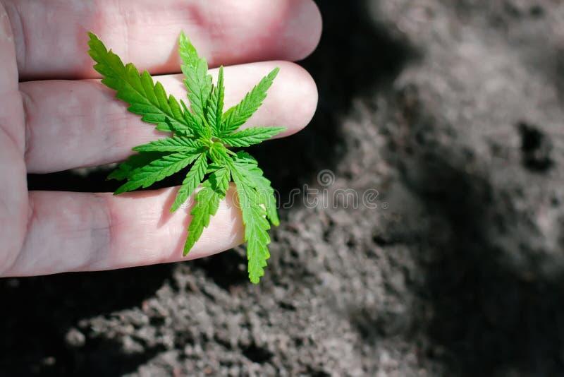 Konopie kie?kuje doro?ni?cie Rolnicy zasadzaj? marihuany rozsady R?ki zbli?enie z marihuany rozsad? outdoors zdjęcie stock
