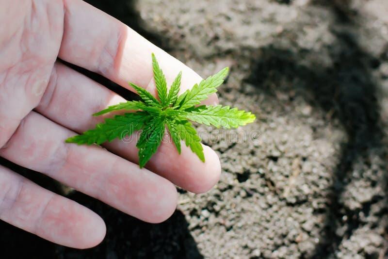 Konopie kie?kuje doro?ni?cie Rolnicy zasadzaj? marihuany rozsady R?ki zbli?enie z marihuany rozsad? outdoors obrazy royalty free
