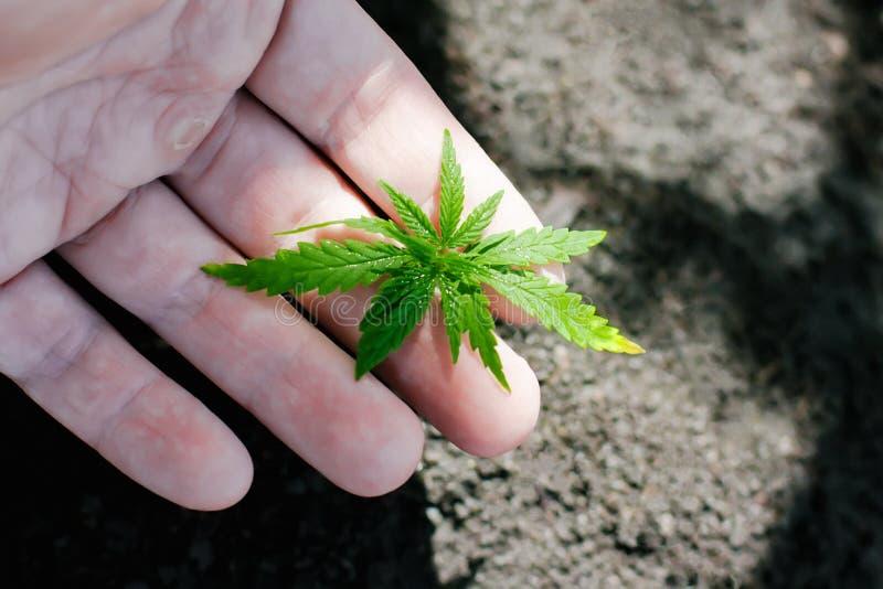 Konopie kie?kuje doro?ni?cie Rolnicy zasadzaj? marihuany rozsady R?ki zbli?enie z marihuany rozsad? outdoors zdjęcia stock