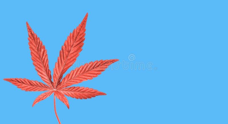Konopie lub marihuany liść odizolowywający Odg?rny widok, mieszkanie nieatutowy Szablon up lub egzamin pr?bny obrazy royalty free