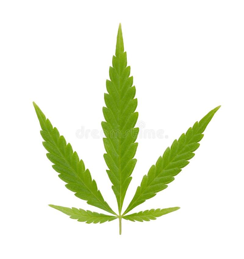 Konopie, marihuana wachluje liść, nad bielem zdjęcie royalty free