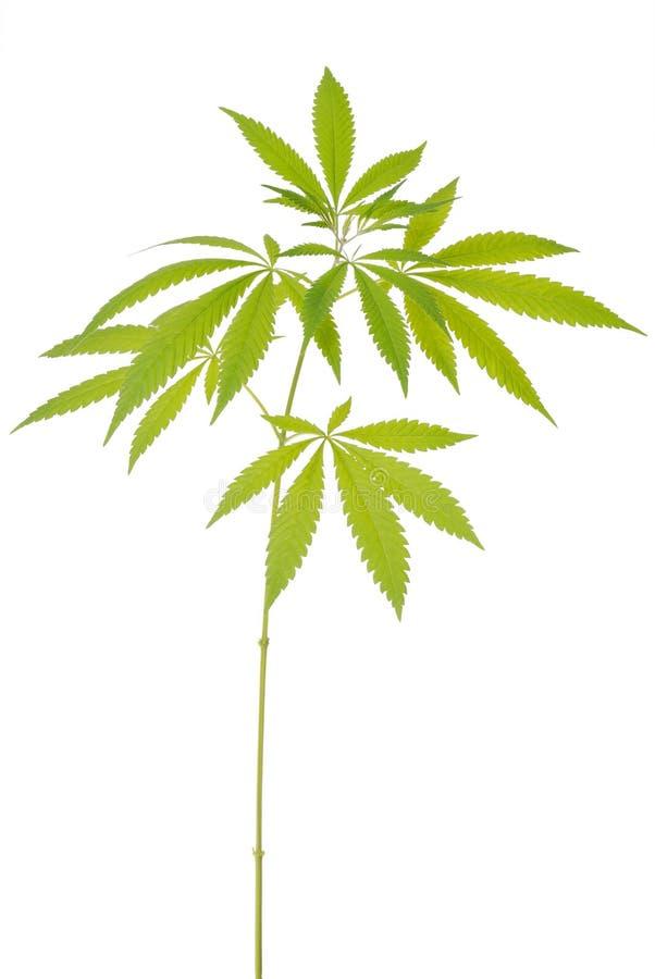 Konopie (marihuany) fotografia royalty free