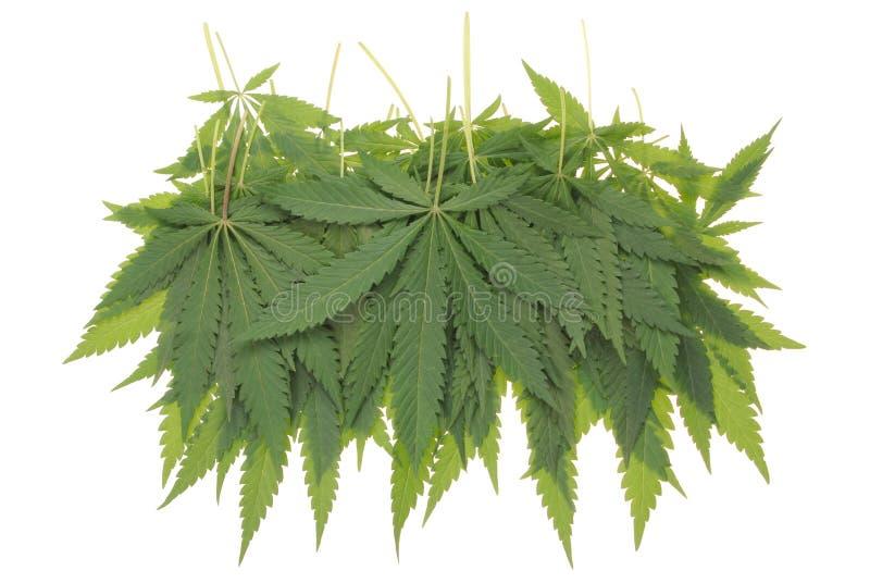 Konopie (marihuany) zdjęcia stock
