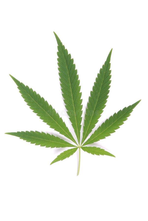 Konopie (marihuany) zdjęcia royalty free