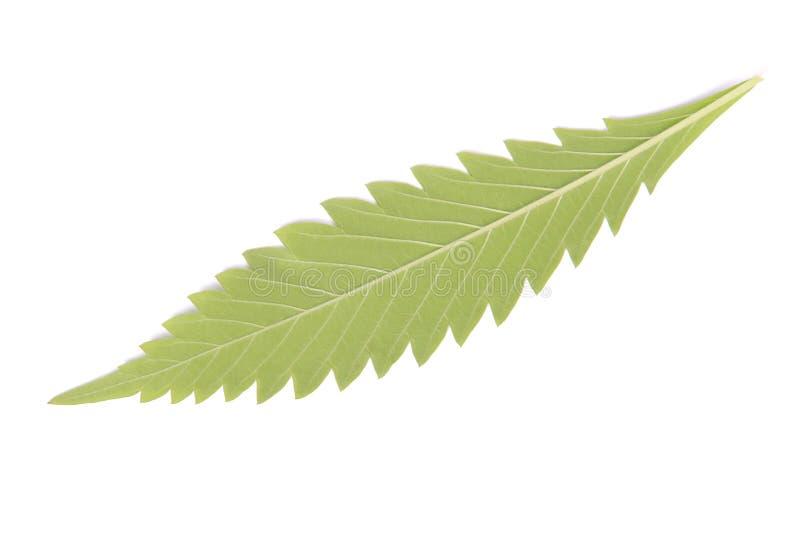 Konopie (marihuany) obrazy stock