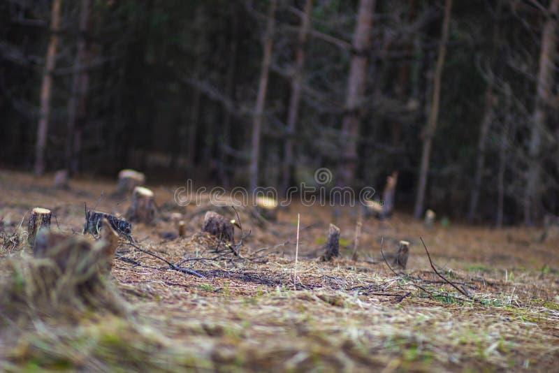 Konopie w polanie w lesie zdjęcia royalty free